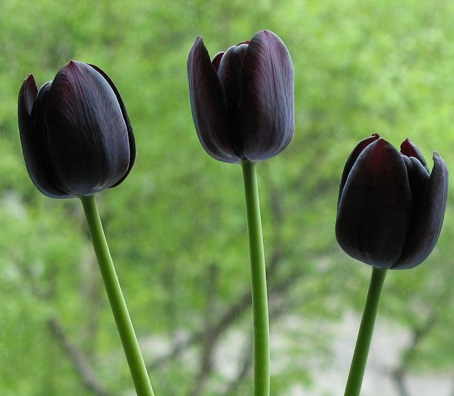 Noble and rare black flowers - tulips